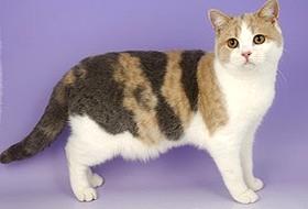 Висящий курдючок у британской кошки