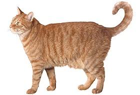 Курдюк внизу живота у домашнего кота
