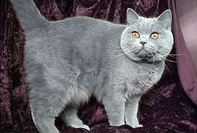 Висящий живот у британского кота