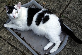 Курдюк внизу живота у домашней кошки